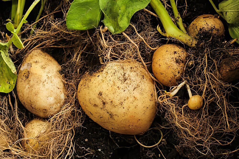 how long does it takes for potatoes to grow