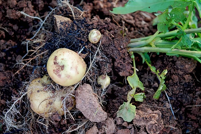 Potatoes - plant that grow fast