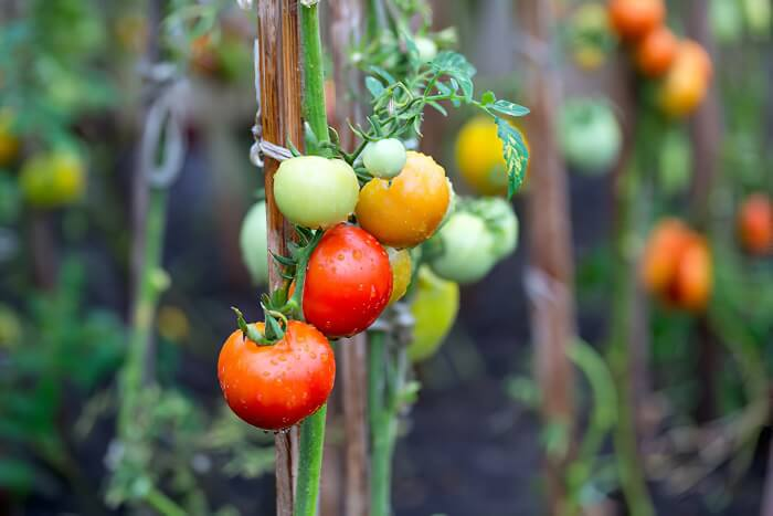Tomatoes - plant that grow fast
