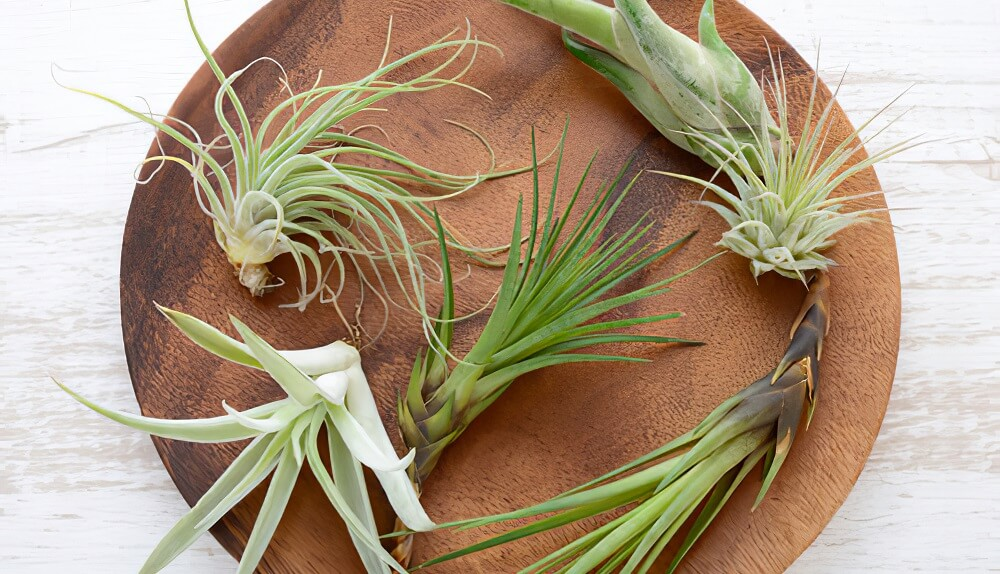 how to take care of air plants