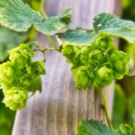 How to grow hops in containers at home [Easy Guide]