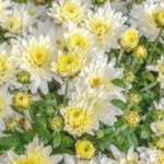 How to grow Chrysanthemums or Mums [13 Steps Guide]
