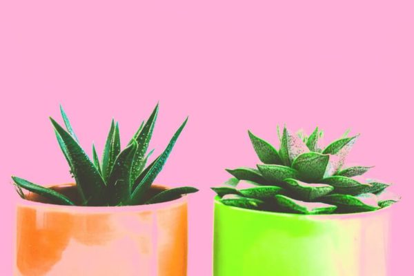 how and when to repot a succulent
