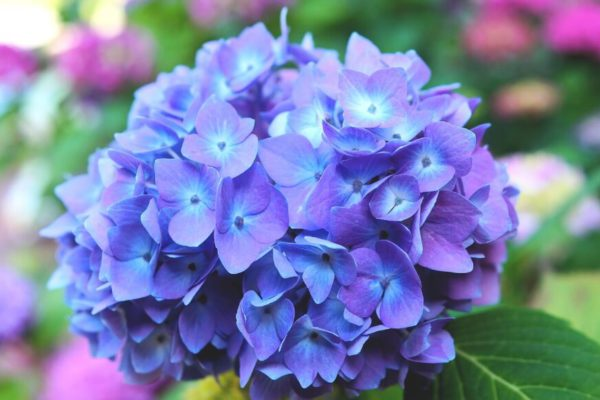 5 Tips to get hydrangeas to bloom