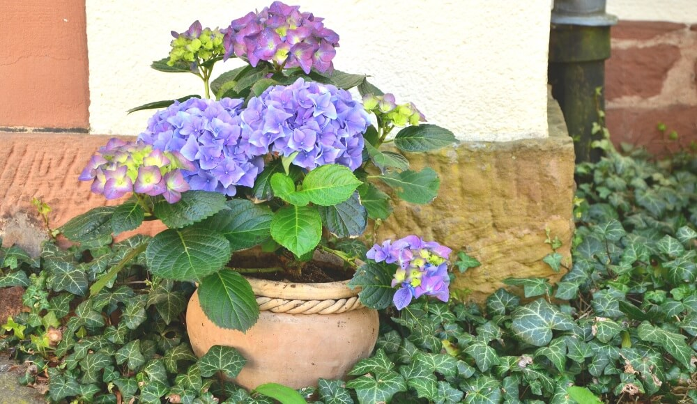 How to Plant Hydrangeas in a pot