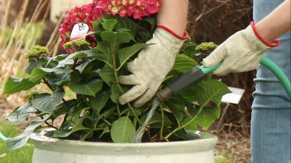Make sure the hydrangeas is well watered