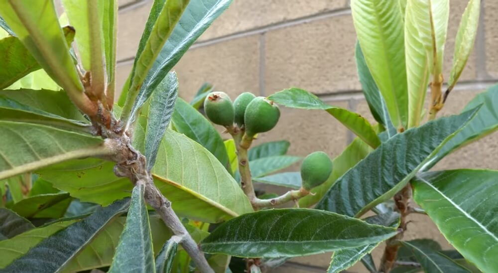 One year and nine months since planting loquat tree