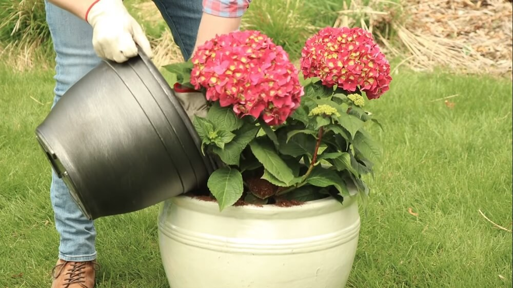 Picking the right pot to plant hydrangeas