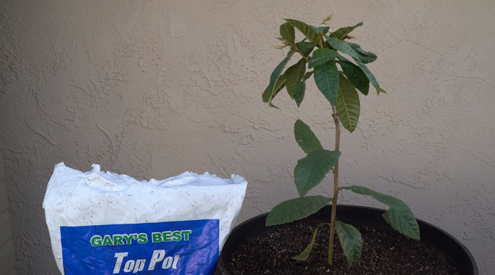 how the loquat tree looks like after planting