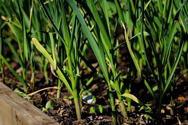 How to grow green onions indoors