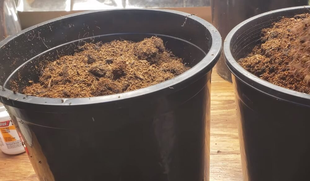 Preparing pots to grow grapes from cuttings