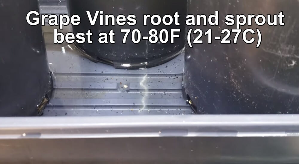 Temperature requirements to grow grapes from cuttings