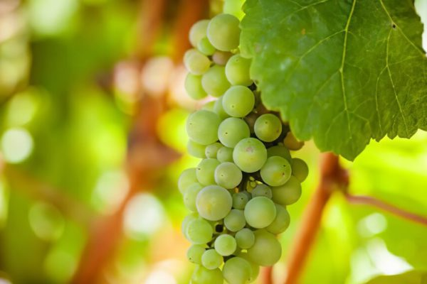 how to grow grapes from cuttings