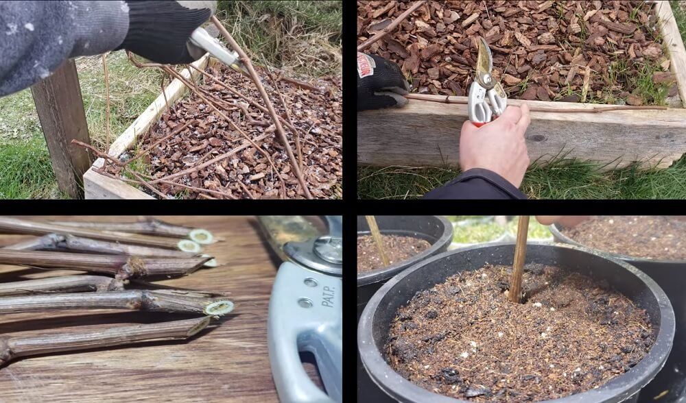 Recap on how to grow grapes from cuttings
