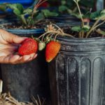 How to Grow Strawberries In Pots [3 Simple Steps]