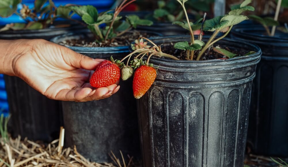 How to Grow Strawberries In Pots
