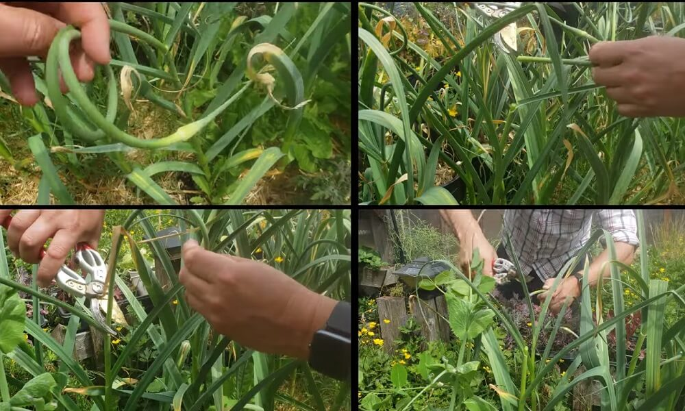 How to max out your garlic harvest