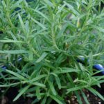 How to plant rosemary (Steps to Replant Rosemary)