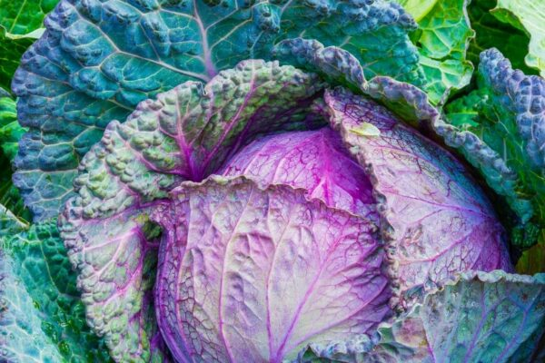 How to grow cabbage from seeds