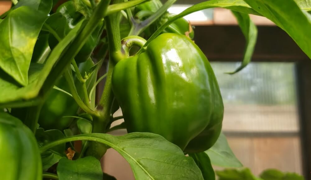 To ripen your peppers faster Shelter them