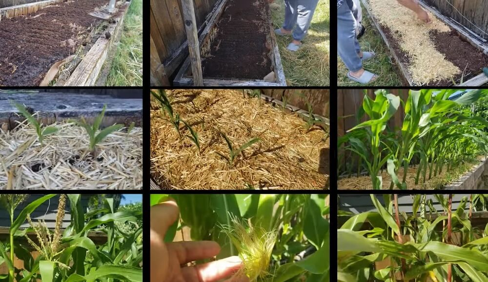 Quick Recap of  the entire process to grow corn from seed to harvest